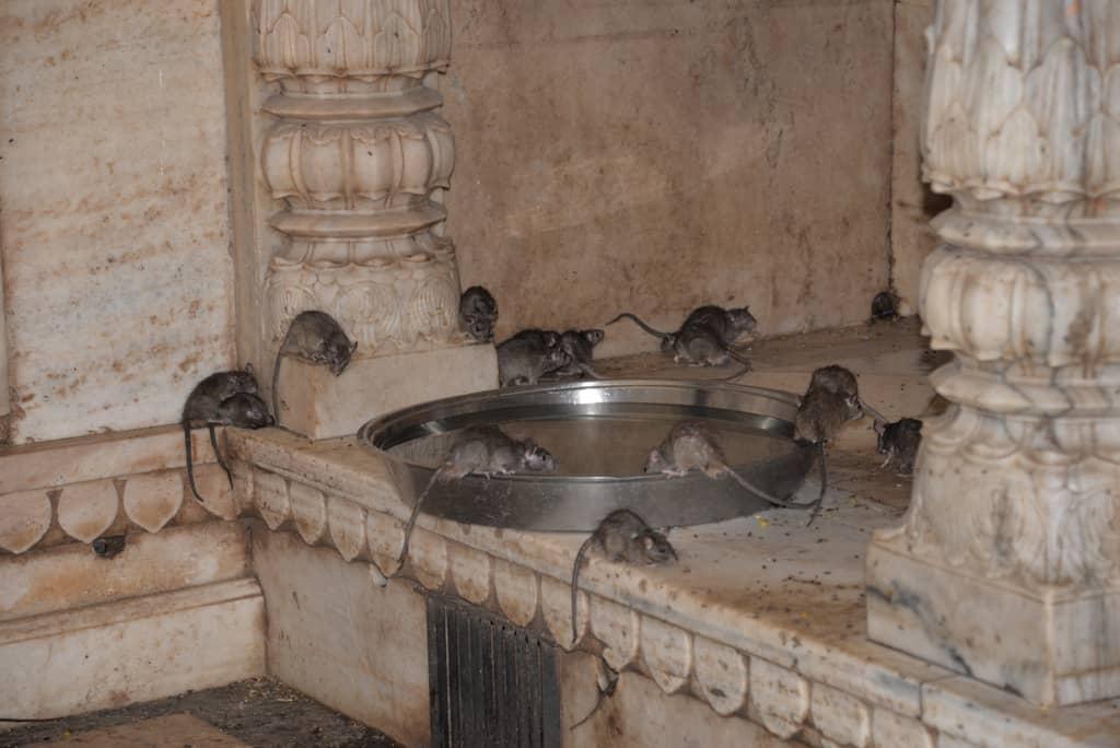 Bikaner, Karni Mata Temple