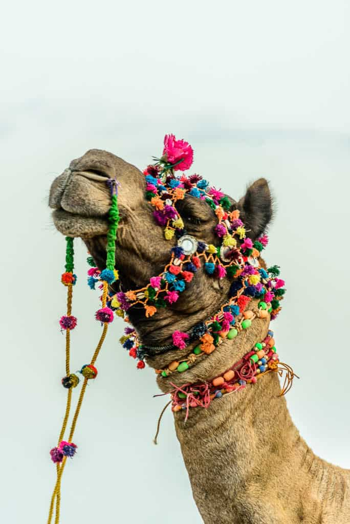 A decorated camel in Jaisalmer